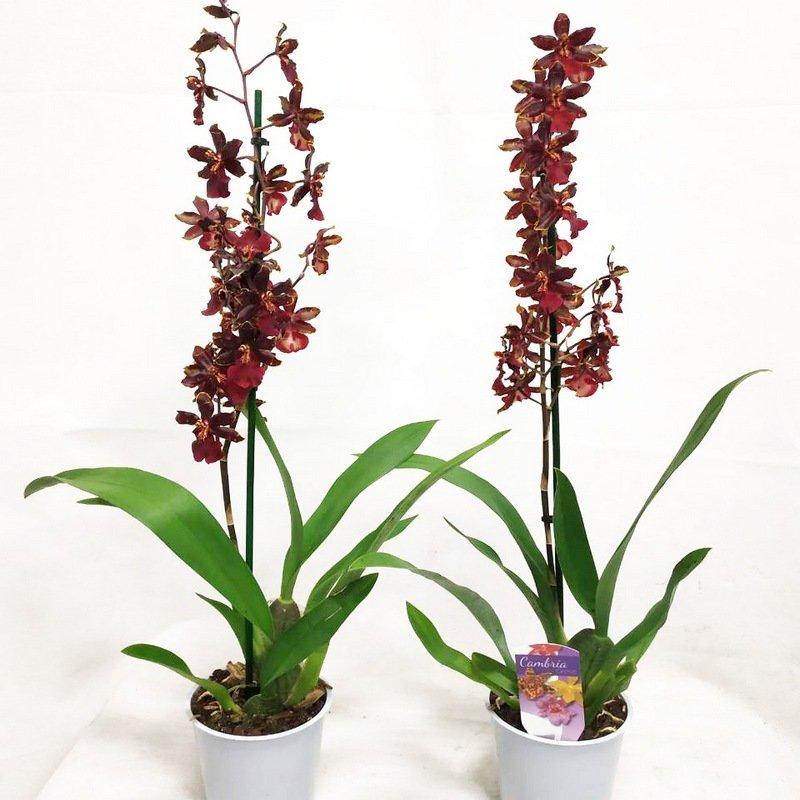 Купить Орхидея Камбрия Блэк Кэт 1 ствол в Москве