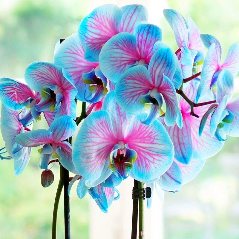 удивительной фото орхидеи фаленопсис голубая увлекательному